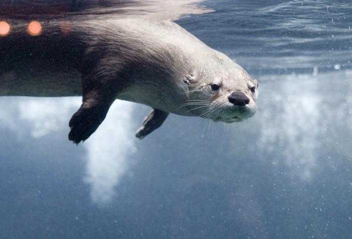 underwater otter 700x475 underwater otter