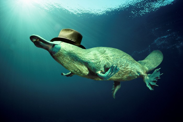 dapper platypus