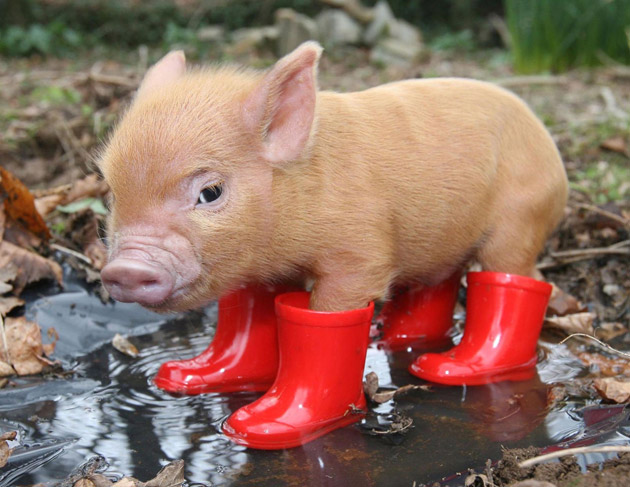 pig in boots pig in boots Cute As Hell Animals