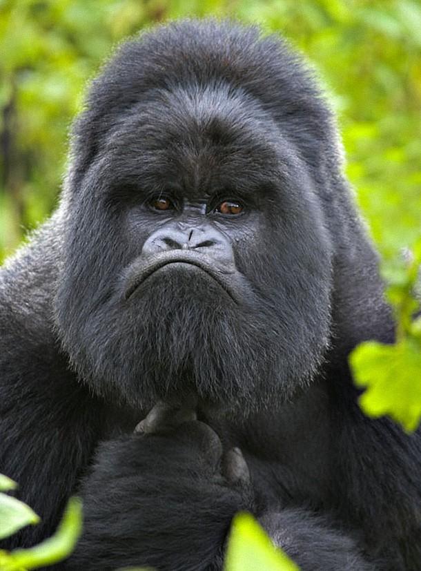 angry gorilla « MyConfinedSpace - photo#26