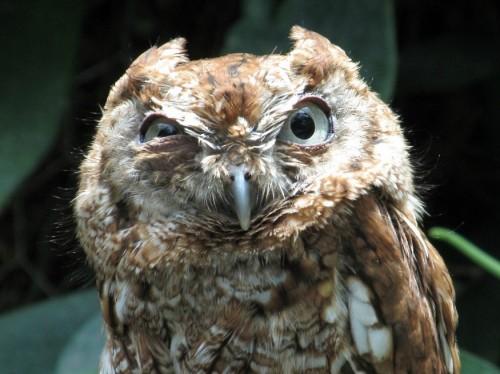 dramatic owl