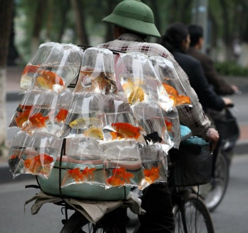 gold fish to go