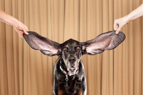 massive dog ears