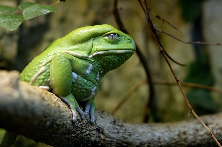 elder frog