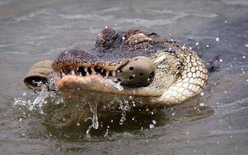 croc eating crocs