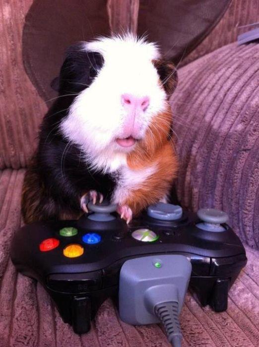 guinea pig gamer.jpg