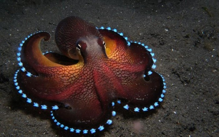 light up octopus 700x437 light up octopus Nature Awesome Things