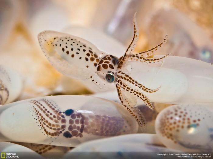 octopuss egg hatch.jpg