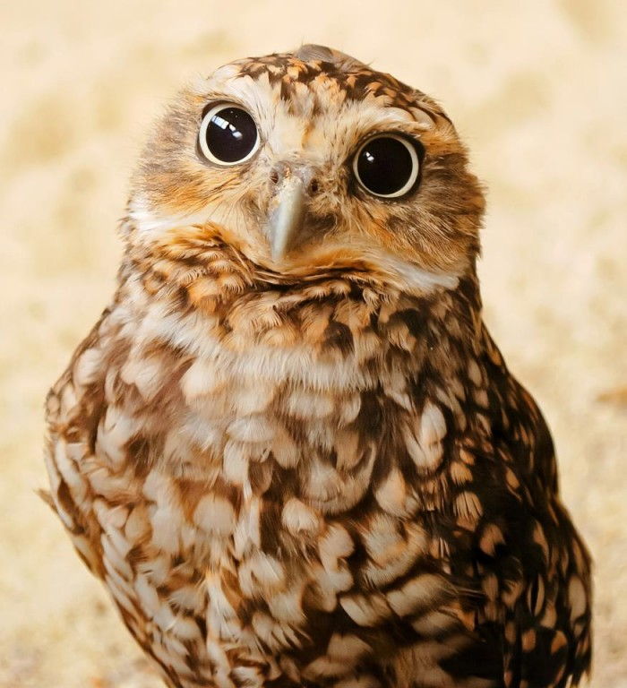 wide eyed owl.jpg