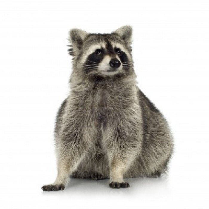 2705772-raccoon-9-months--procyon-lotor-in-front-of-a-white-background