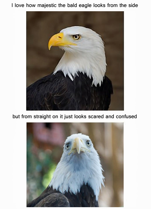 Majestic bald eagle.jpg
