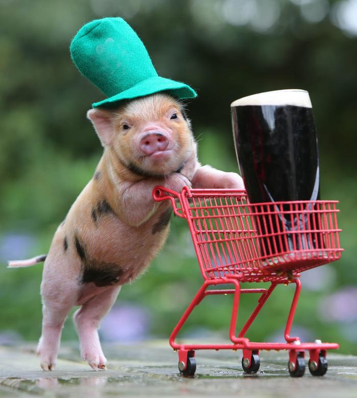 irish pig.jpg