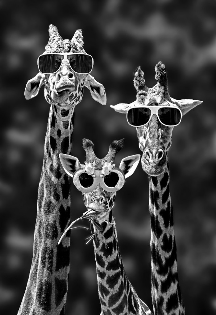 awesome giraffes.jpg