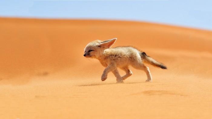 desert fox.jpg