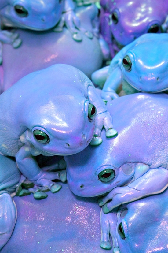purple frogs.jpg