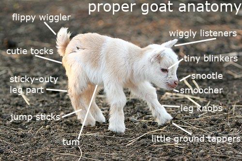 Proper Goat Anatomy.png
