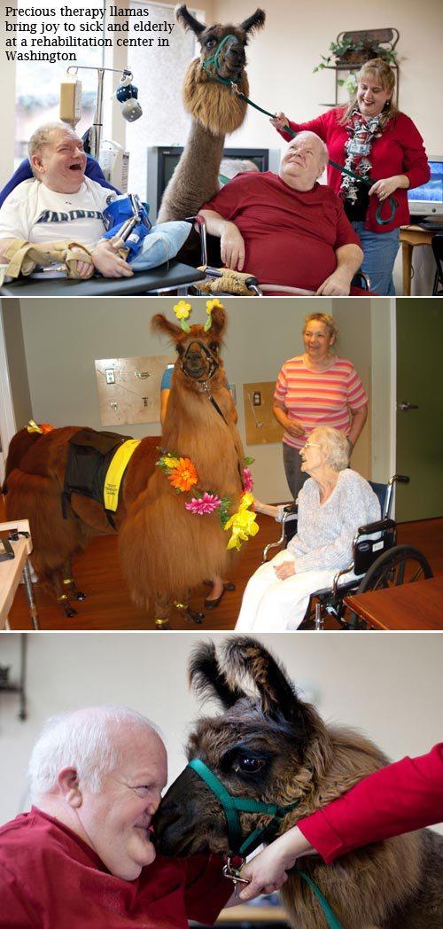 therapy llamas.jpg