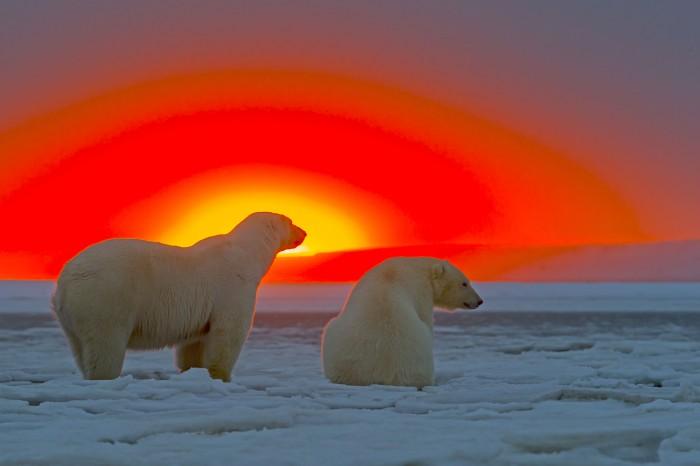 polarbears in the sun.jpg