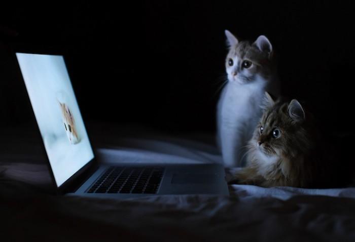 Kittens watching Laptop.jpg