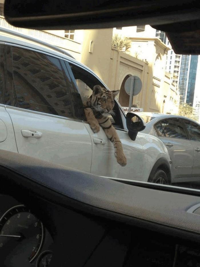 tiger rider.jpg