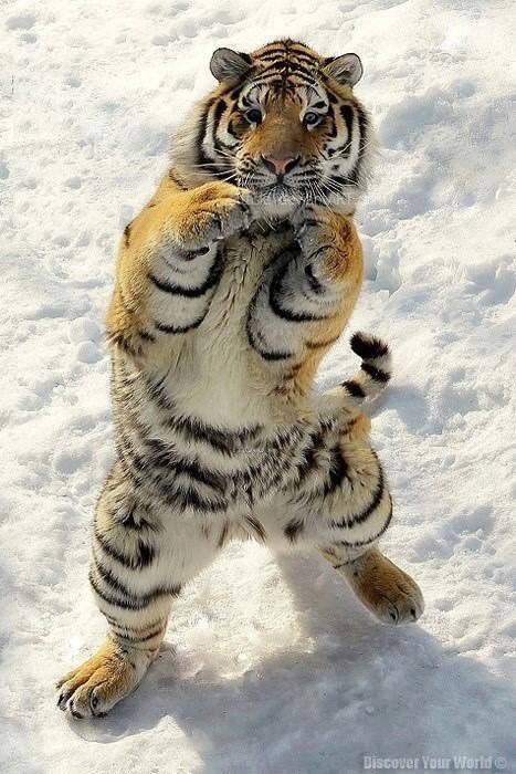 boxing snow tiger Sports animals