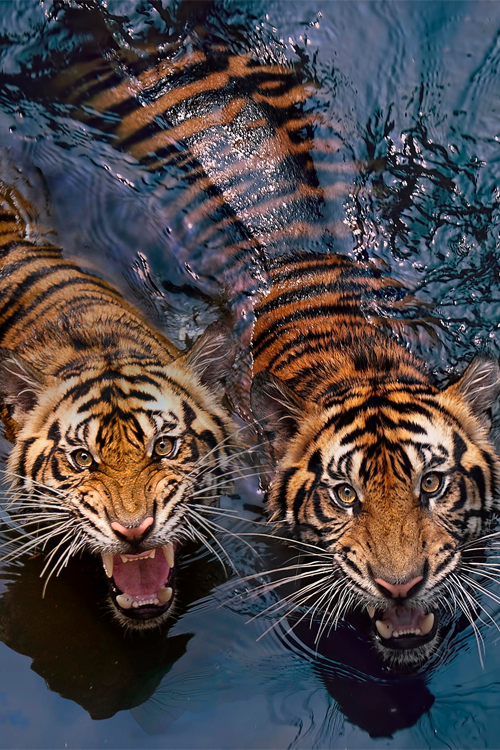 3910 ff89 hungry tigers animals