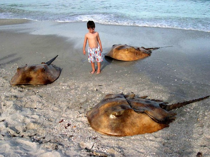 giant horse shoe crabs 700x525 giant horse shoe crabs wtf Nature