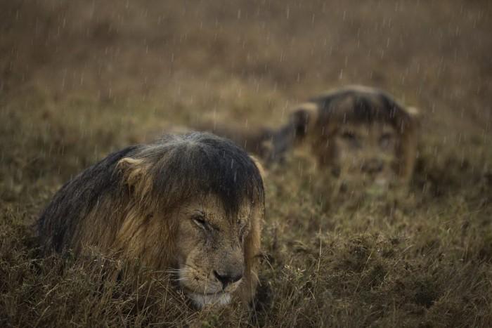 wet lions.jpg