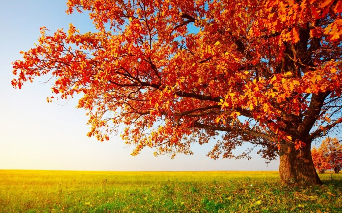 Fall Tree 700x437 Fall Tree Wallpaper Nature