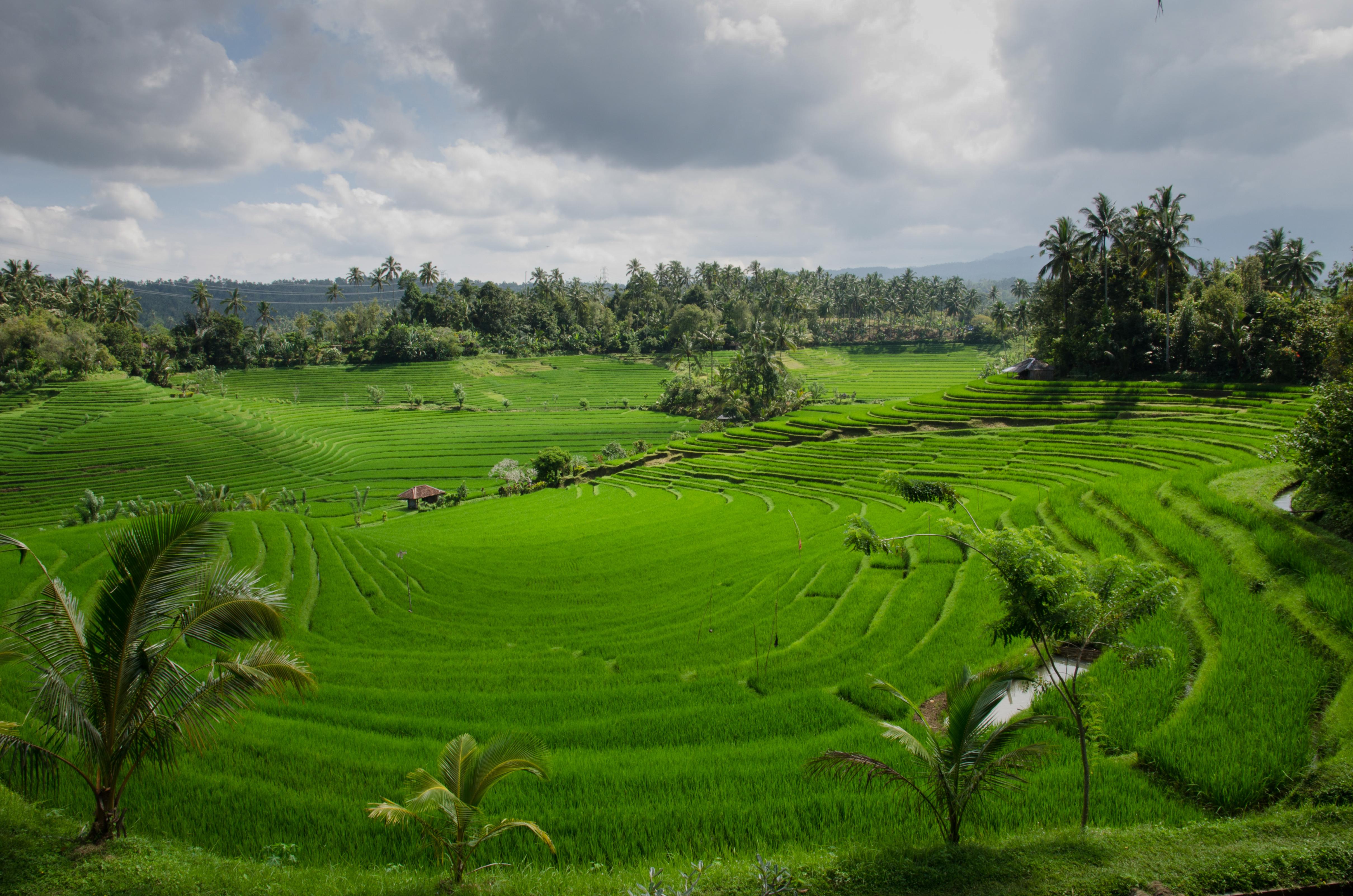 Paddy Field on Bali.jpg