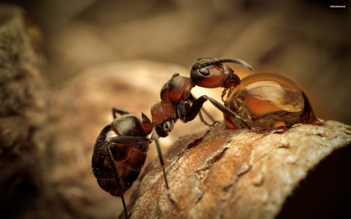 1401922104192 700x437 ant drinks water animals