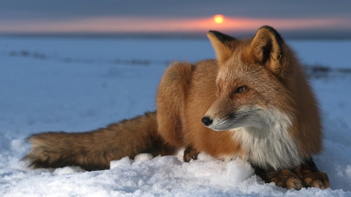 1402806804238 700x393 fox in snow Wallpaper Nature Cute as hell as animals