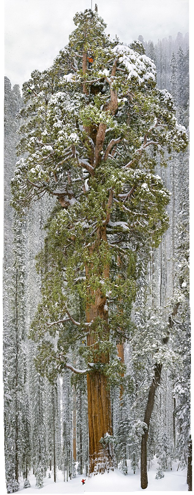 Massive Redwood tree  Massive Redwood tree  wtf vertical wallpaper Nature