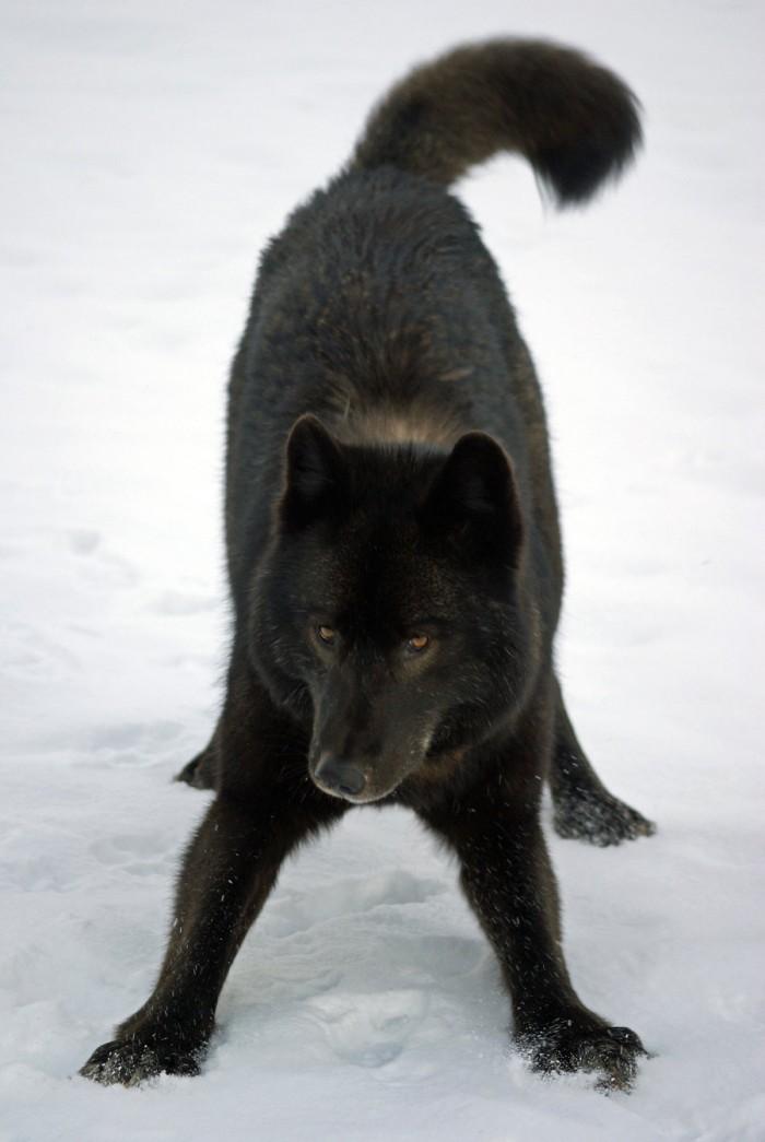 black wolf animals