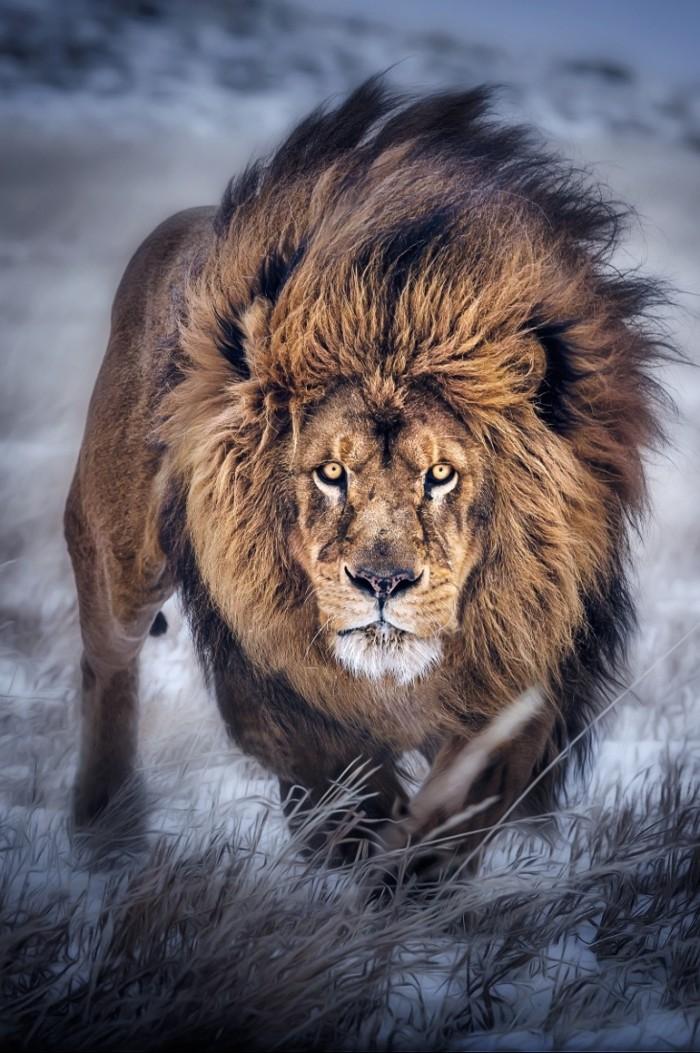 big lion animals