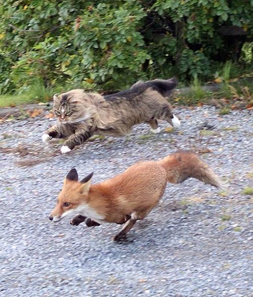 tumblr n1qg8csTj71r6ni13o8 500 cat vs wolf animals