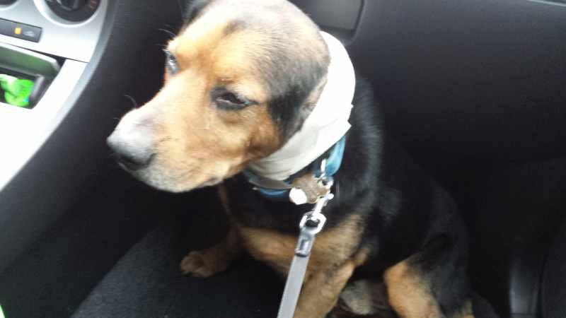 20150302 175526 my dog hurt his ear MCS Pets