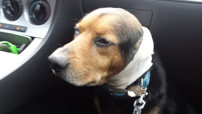 20150302 175530 700x394 my dog hurt his ear MCS Pets