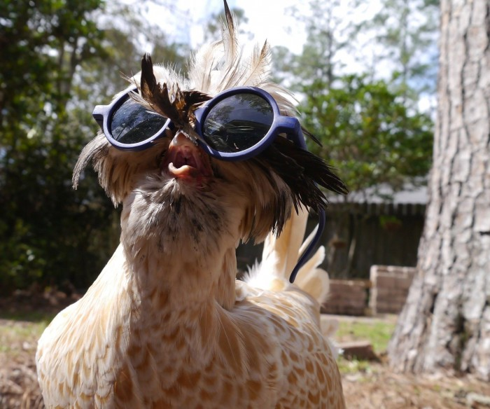 Chicken with sunglasses.jpg