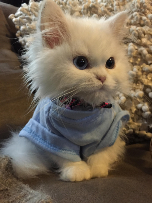 Cute Kitten in a shirt.jpg