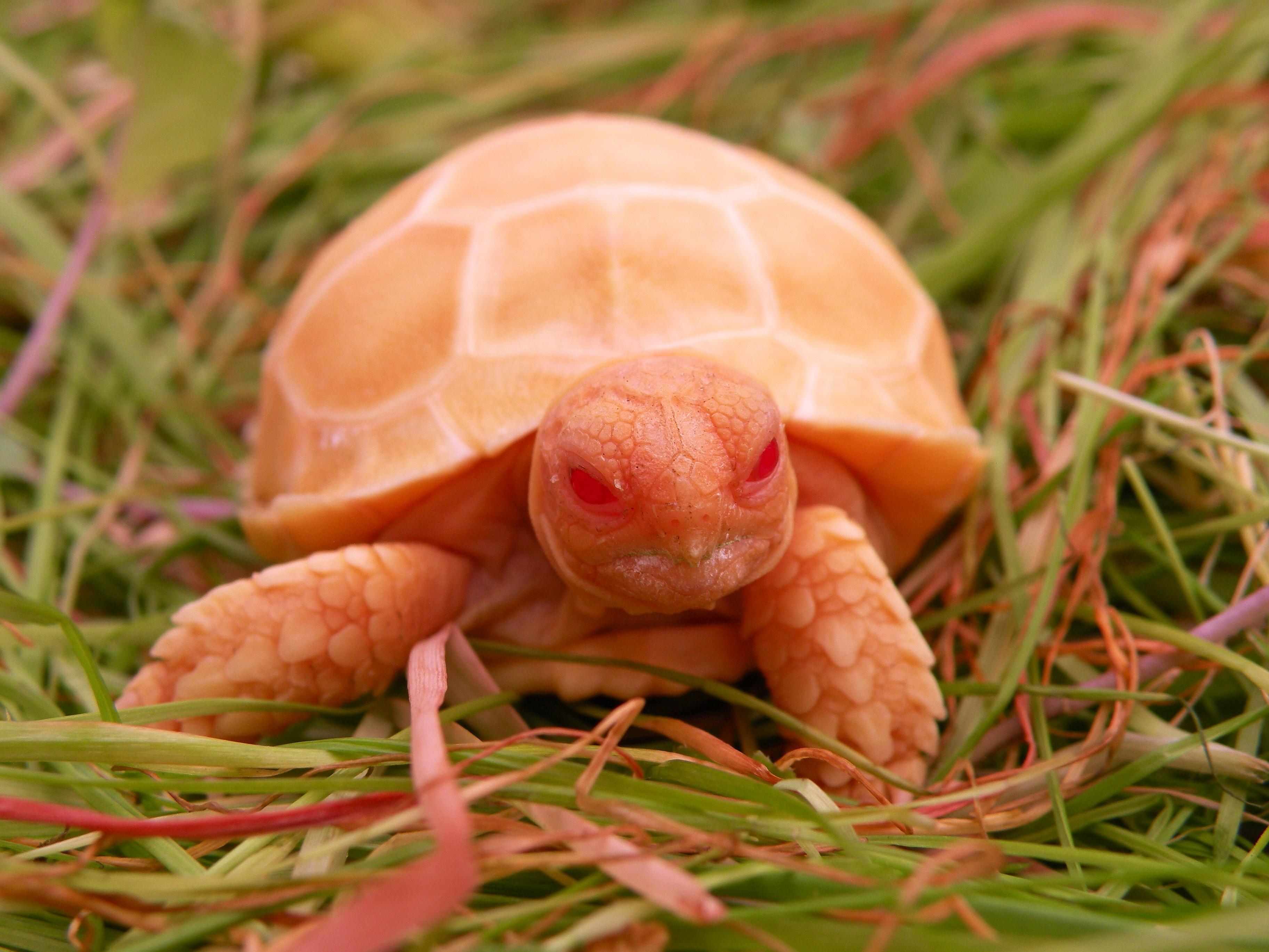 Albino Sulcata Tortoise.jpg