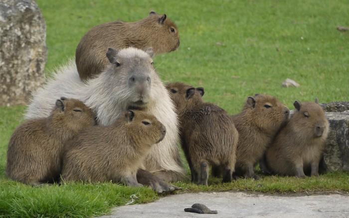 Capybara Family 700x438 Capybara Family