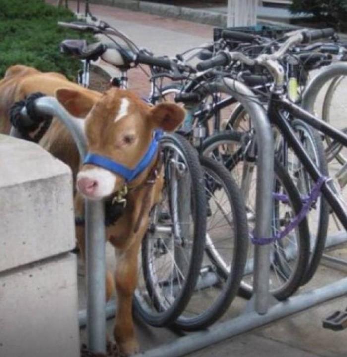 Cow Parking 700x720 Cow Parking