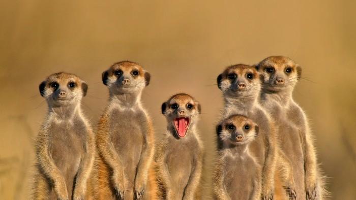 Meerkat Family 700x394 Meerkat Family