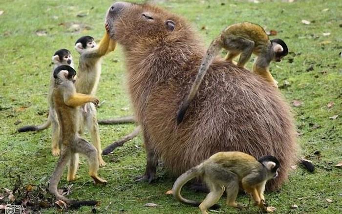 Monkey petting Capybara 700x438 Monkey petting Capybara