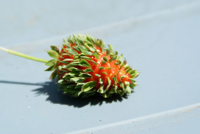 Sprouting Strawberry.jpg