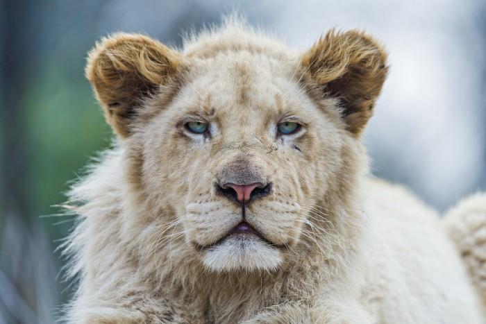 Bored Lion.jpg