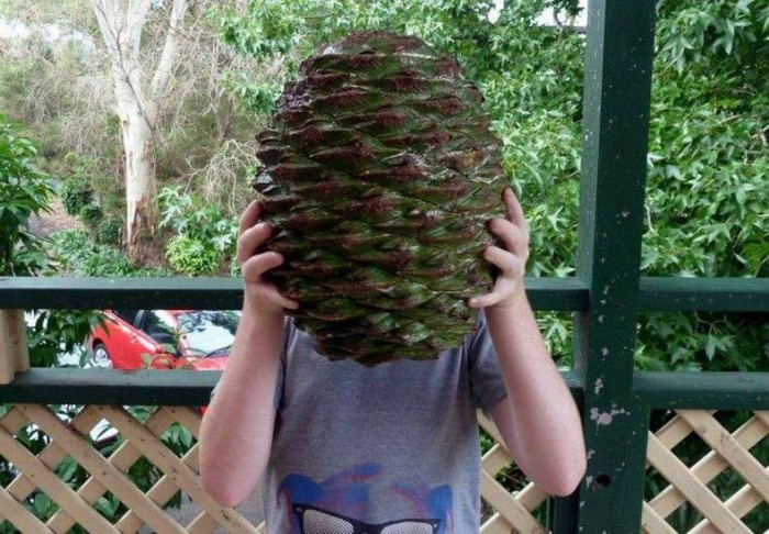 a large pine cone.jpg