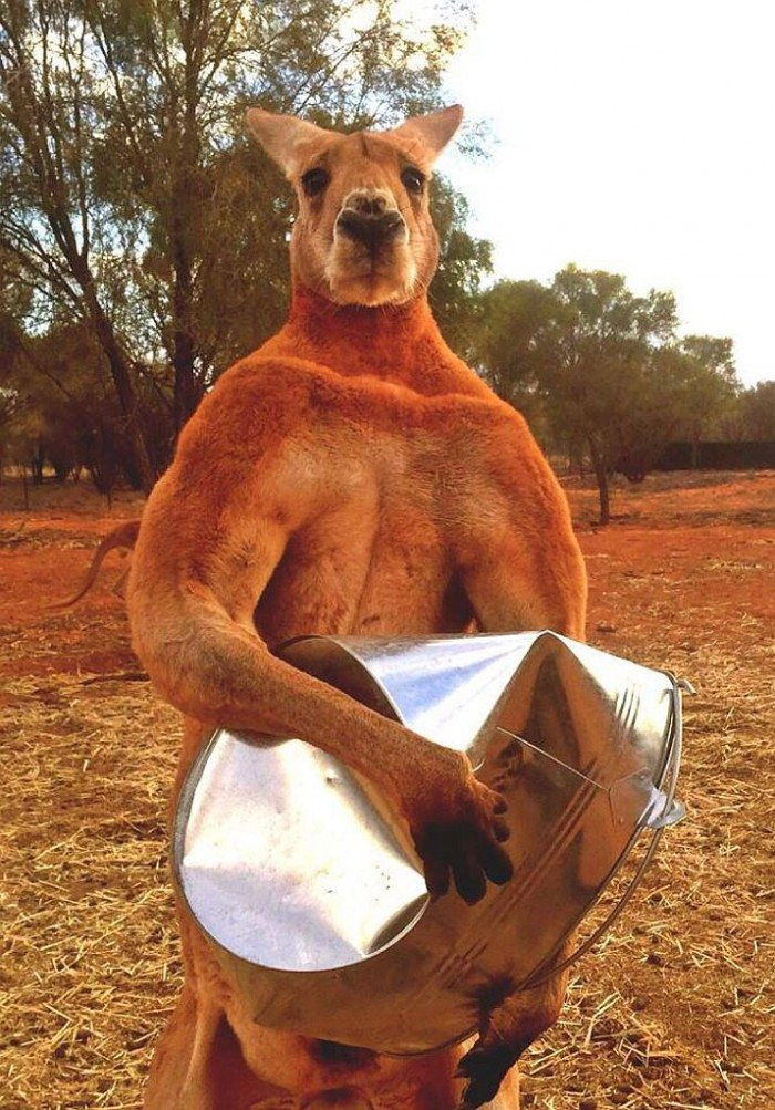 ripped_kangaroo