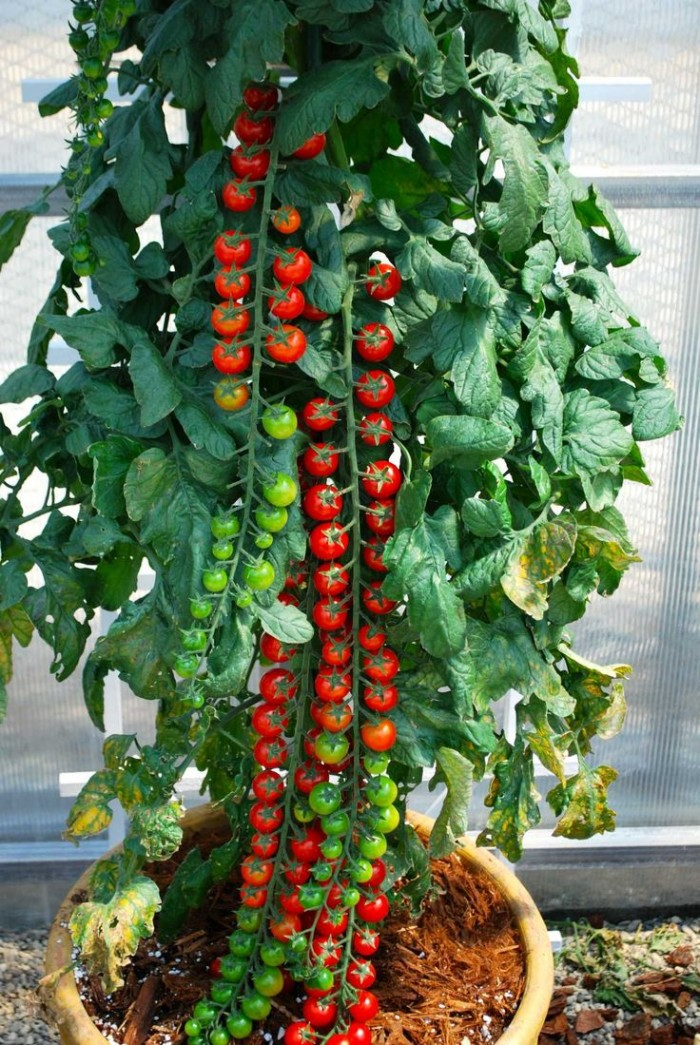 Rapunzel Hybrid Tomato.jpg